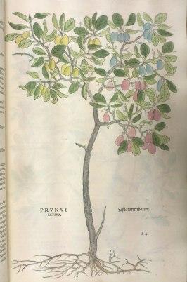 From De historia stirpium commentarii insignes. Classmark: Sel.2.81