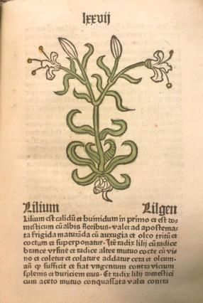 Lilium, from Herbarius latinus, Inc.4.A.1.3b[19]