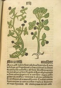 Mulber, from Herbarius latinus, Inc.4.A.1.3b[19]